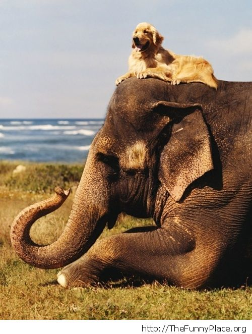 Golden Retriever with elephant