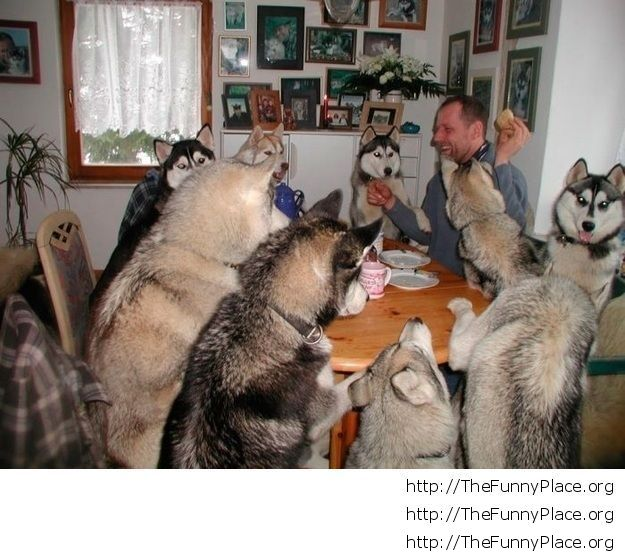 Husky pack dinner with human