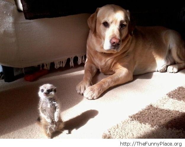 Labrador with meerkat