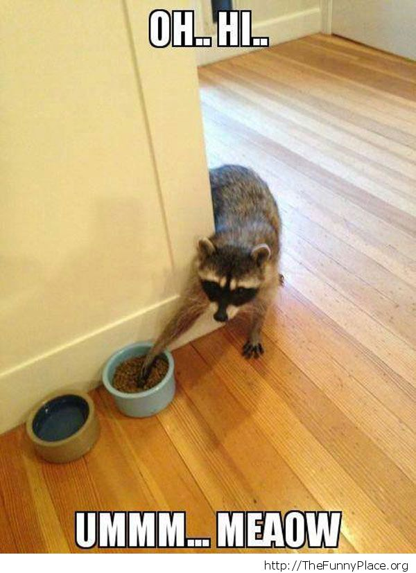 The racoon cat