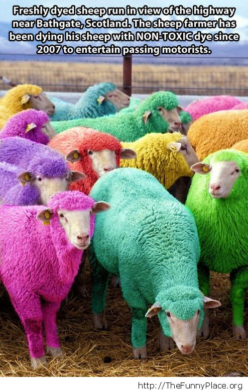 These are my sheeps
