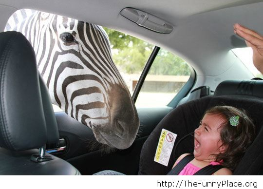 A zebra at my window
