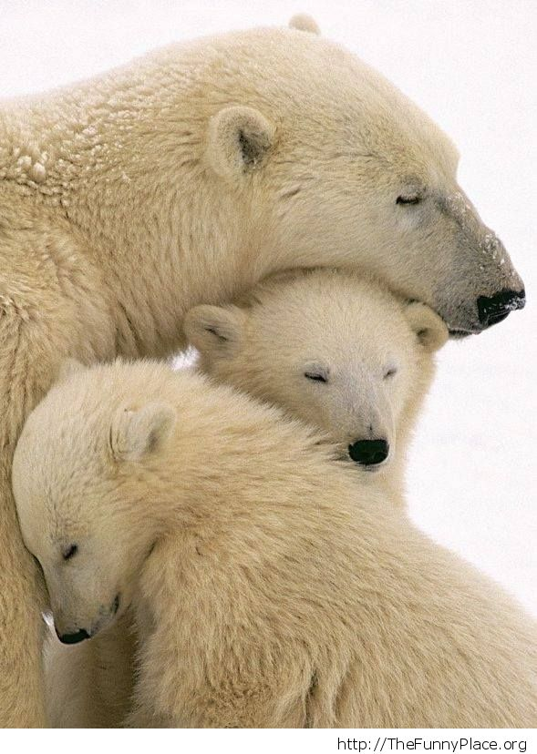 Cute polar bears