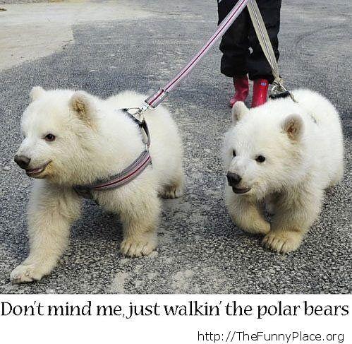 Having a walk with my polar bears