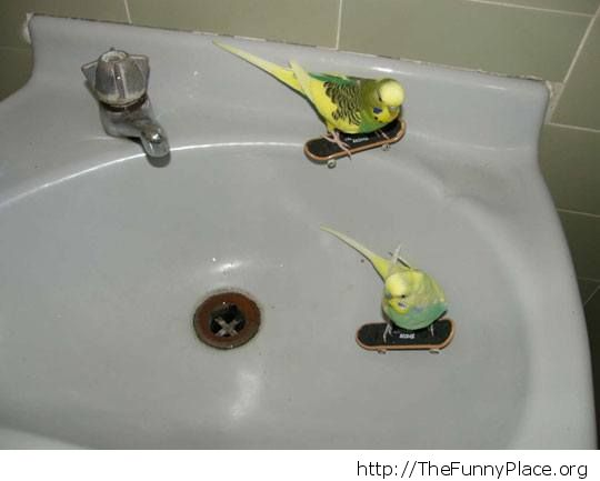 Parrots having fun in the sink