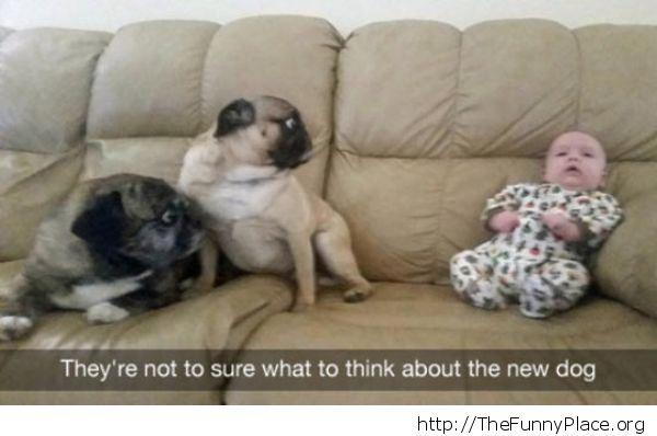 Crazy Pugs