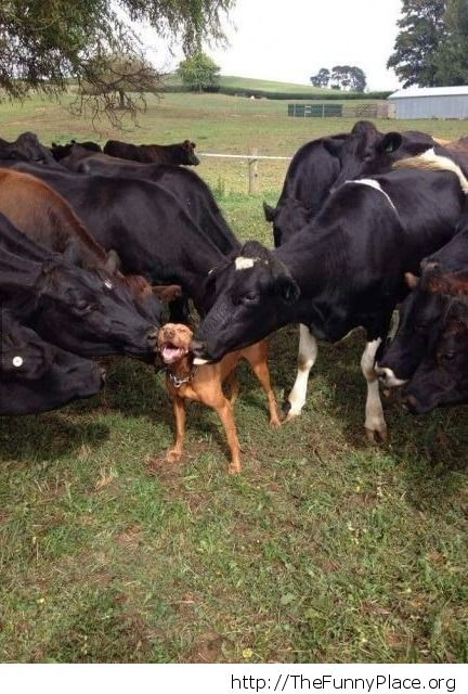cow kisses
