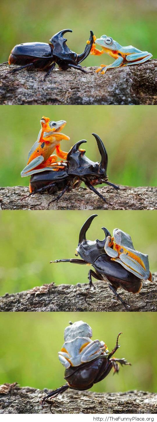 frog rides beetle