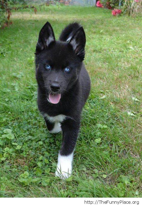 Black husky