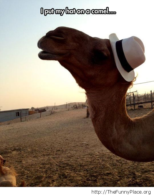 Camel with swag