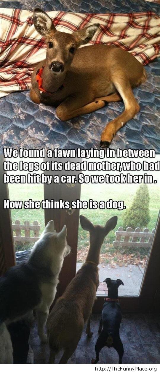 Pet fawn