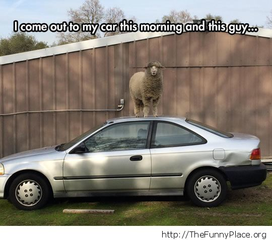 Sheep waiting for a ride
