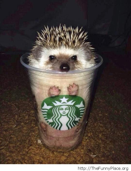 Starbuck hedgehog