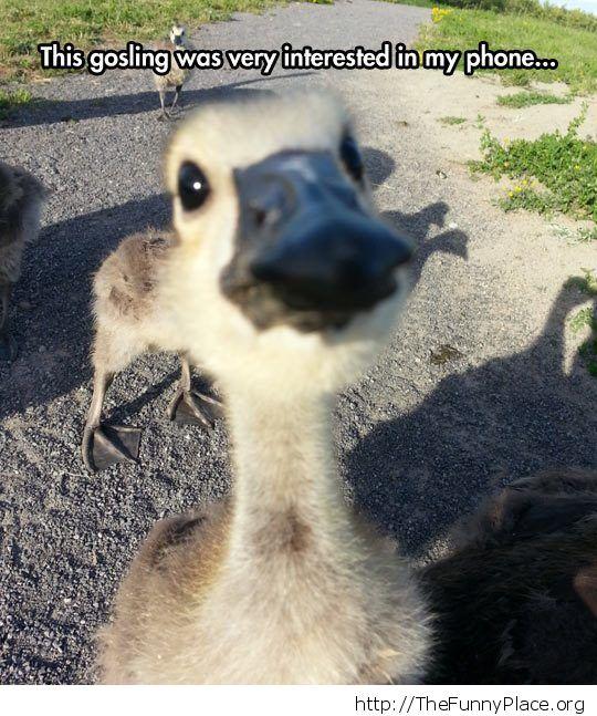 funny-gosling