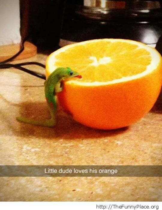 lizard eating orange