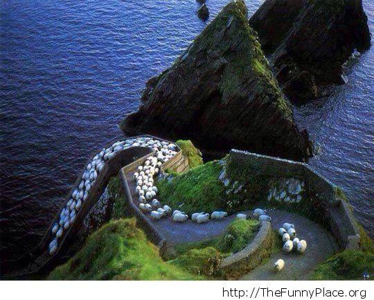 sheep road