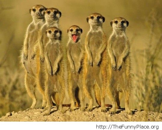 Crazy meerkat