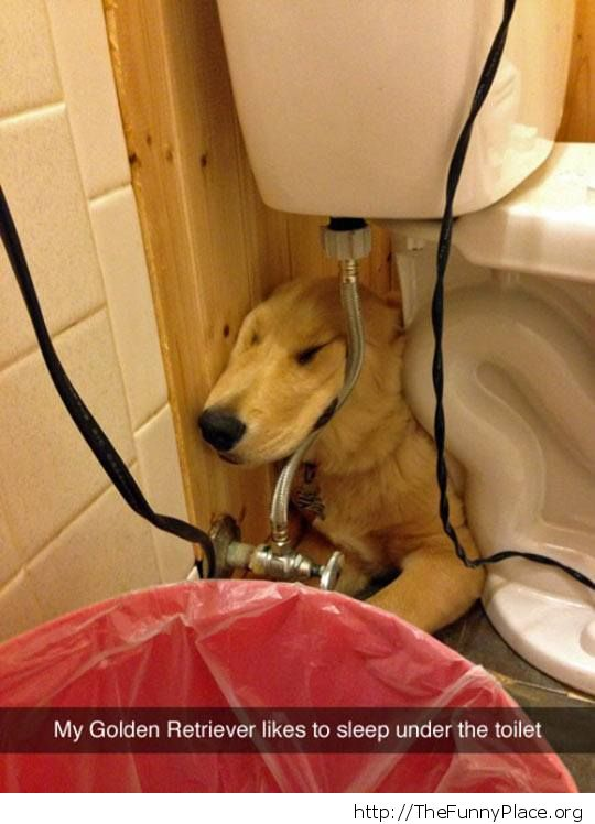 Golden Retriever under the toilet