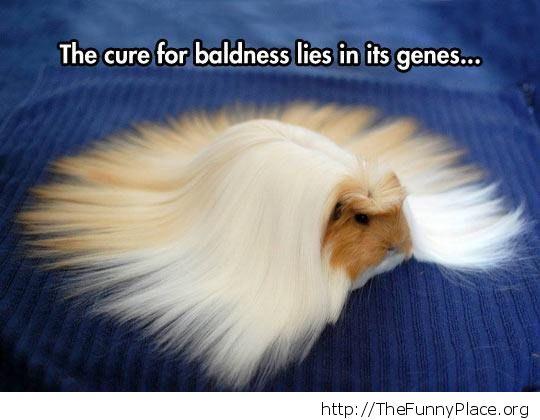 Guinea pig wig