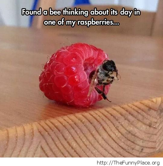 Funny bee on raspberry