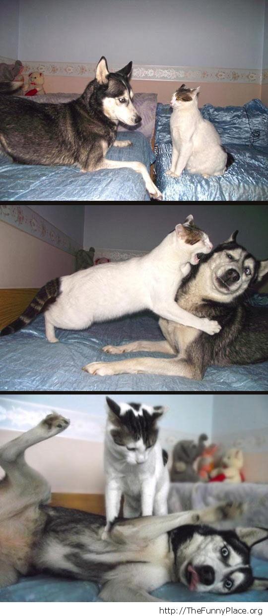 Playful husky
