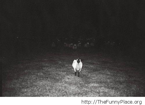 Sheep invasion
