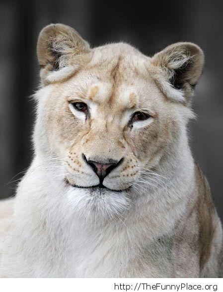 Understanding lion