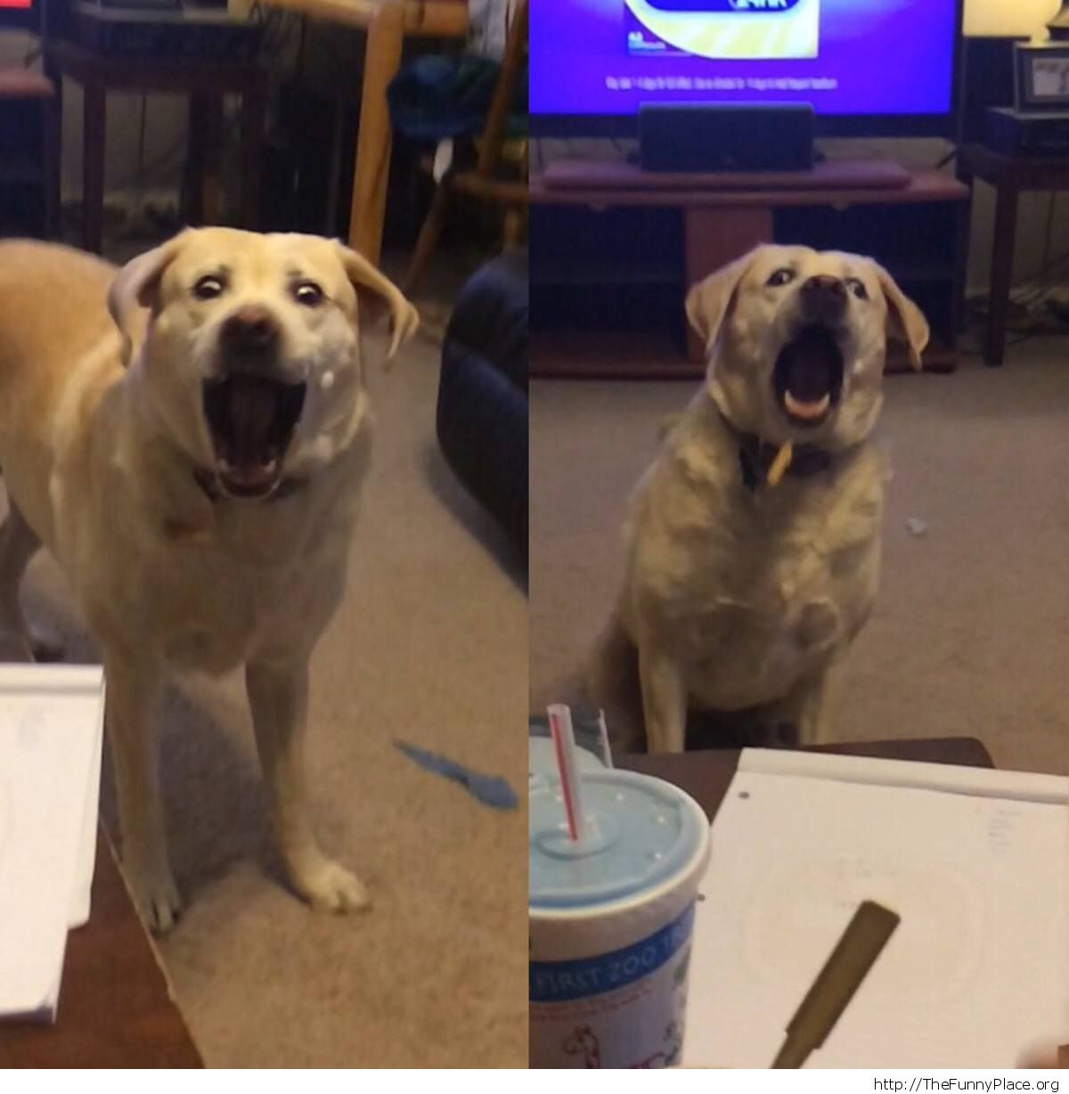 The faces of my dog trying to catch a fry