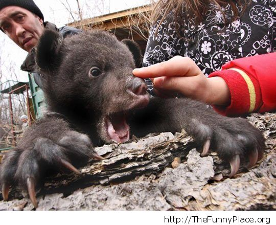 Bear bop